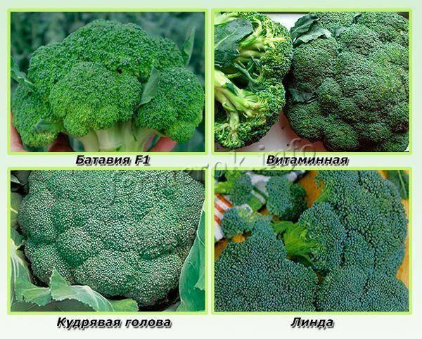 Лучшие сорта капусты брокколи: фото с названием, отзывы
