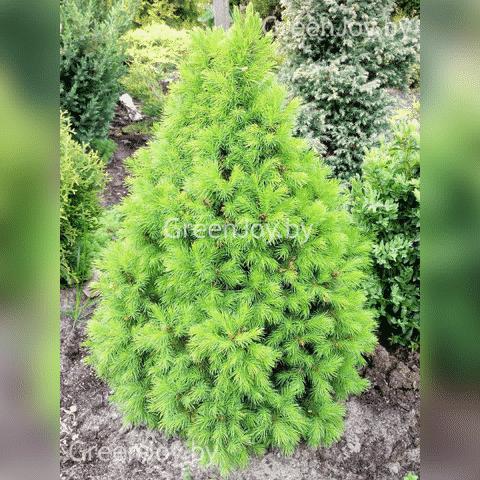 Picea glauca sanders blue посадка и уход. ель канадская сандерс блю (picea glauca sanders blue)