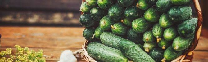 Огурец маша — 8 особенностей и 12 советов по выращиванию и уходу