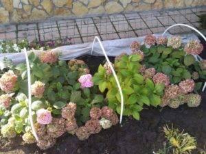 Как укрыть гортензию на зиму — подготовка кустов осенью к зимовке