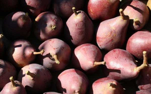 Сорт груши «старкримсон» – его описание и правила выращивания