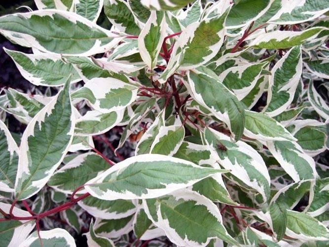 Дерен белый (57 фото): посадка и уход кустарника, описание разновидностей «аурея» (aurea), «шпета», «кессельринга» и «сибириан перлс», тонкости размножения