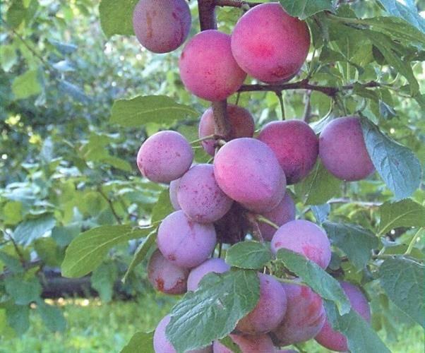 Выращивание сливы в сибири: лучшие сорта и правила ухода
