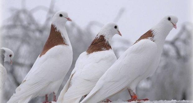 Обзор декоративных голубей