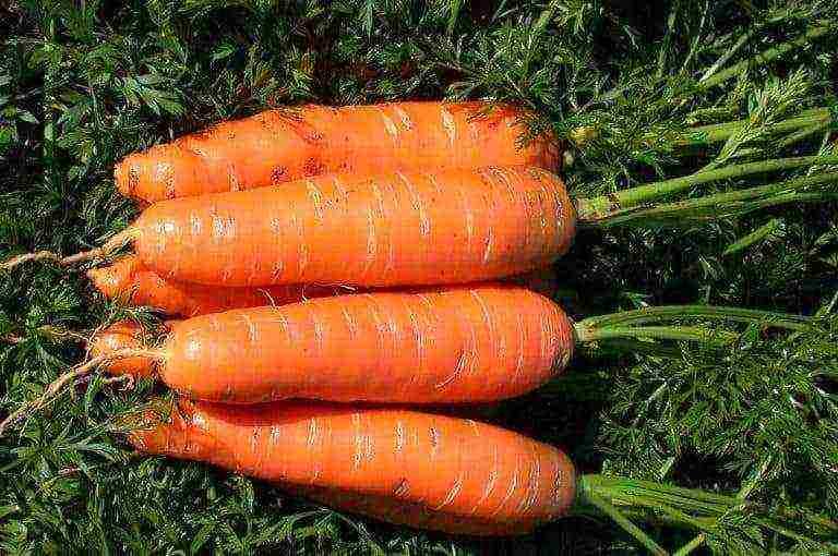 Самые лучшие семена моркови: обзор, характеристики и отзывы