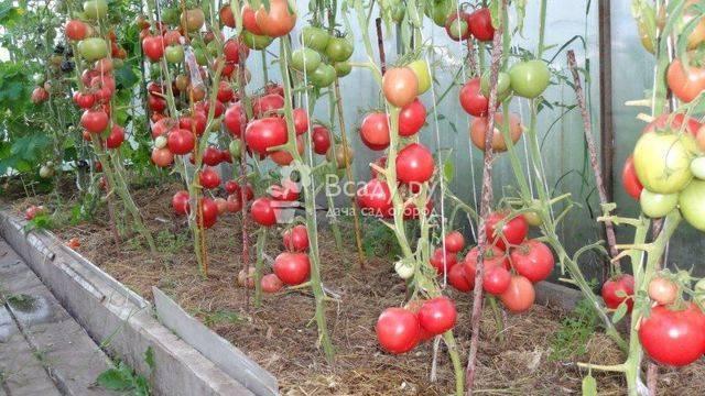 Сорт томатов малиновое чудо