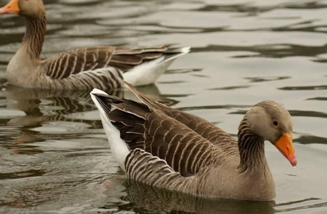 Холмогорские гуси: описание породы, особенности разведения и ухода