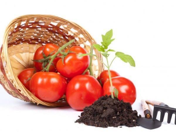 Выбор удобрения для подкормки томатов после пикировки