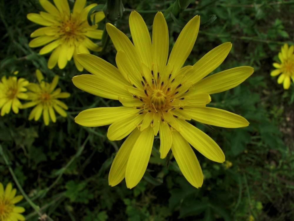 Козлобородник луговой - tragopogon pratensis - описание таксона - плантариум