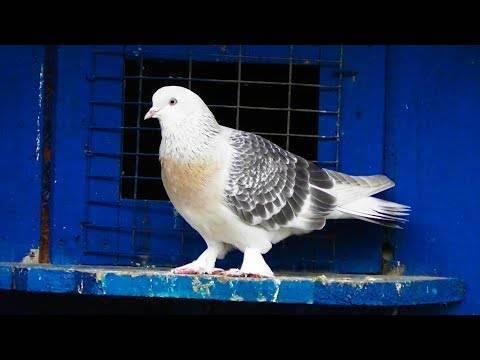 Голуби такла – наследие древней турции