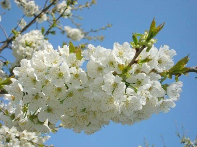 Почему вишня не плодоносит и что советуют делать опытные садоводы