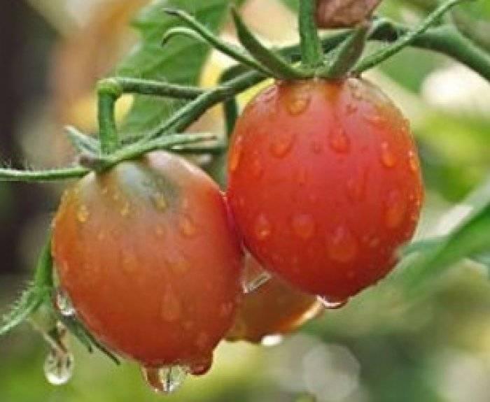 Характеристика и описание сорта томатов розовый фламинго