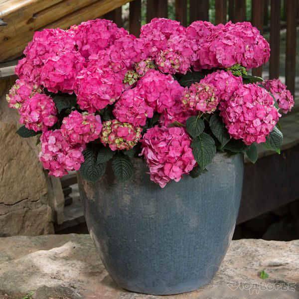 Гортензия в сибири: посадка и уход за садовой красавицей