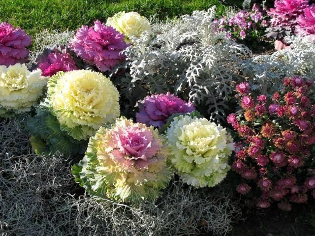 Декоративная капуста: 3 + 3 правила выращивания и ухода