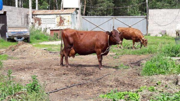 Лучшая молочная порода коров — красногорбатовская. описание, характеристики, особенности содержания