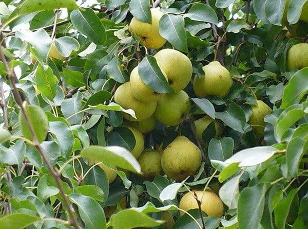 Сорт груши «дюймовочка» описание и характеристика, особенности успешного выращивания