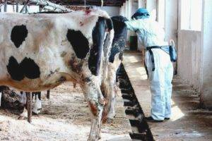 Кровянистые выделения у стельной коровы