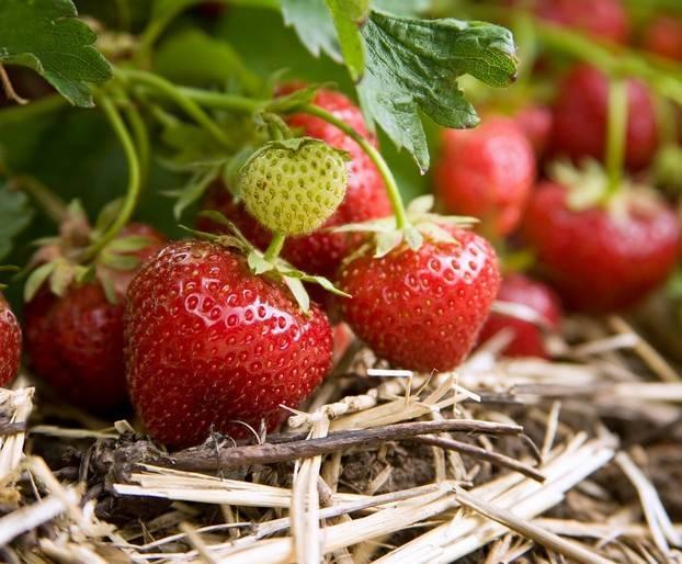 Клубника эльсанта — эталонный сорт, дающий до 1,5 кг ягод с куста