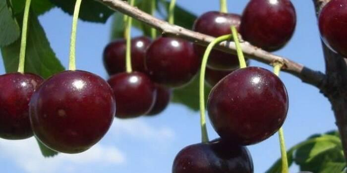 Вишня владимирская: описание сорта и фото, посадка и уход, опылители и вредители