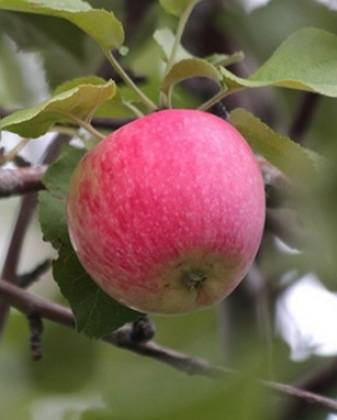 Яблоня башкирская красавица: описание сорта, посадка и уход, размножение, отзывы
