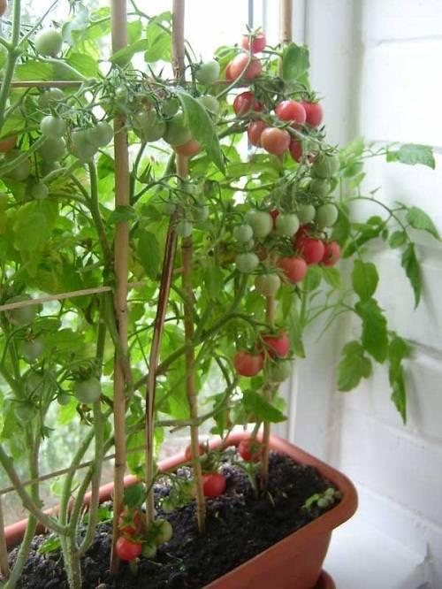Как вырастить помидоры черри в домашних условиях, на подоконнике зимой, а также на балконе? преимущества сорта и уход