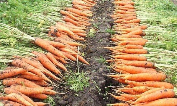 Сорта моркови для Урала