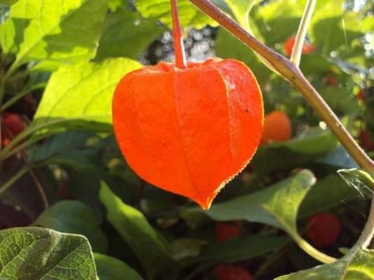 Как выращивать физалис — декоративный и не только