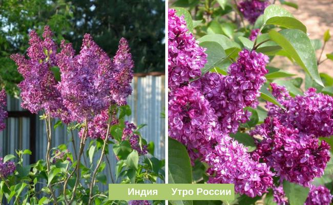 Персидская сирень — происхождение сорта, карликовые и низкорослые разновидности, азы выращивания + фото цветущих кустов