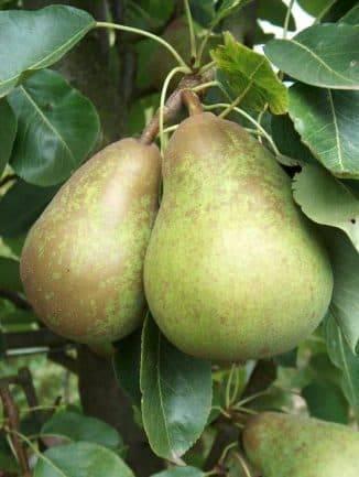 Груша дюшес - описание сорта, особенности, посадка и урожайность