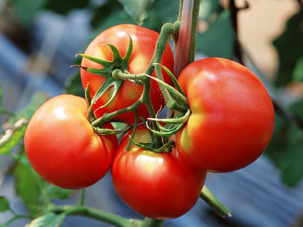 Томат бони м: отзывы, фото, урожайность