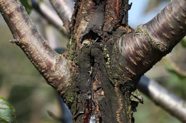 Как и чем лечить кору садовых деревьев от ран и трещин