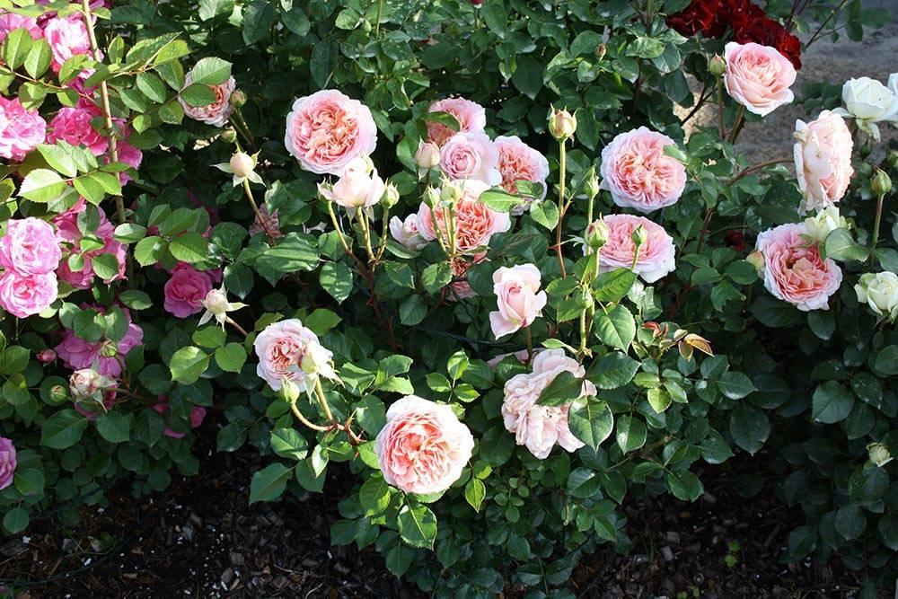 Английская парковая роза Дэвида Остина Абрахам Дерби: фото и описание