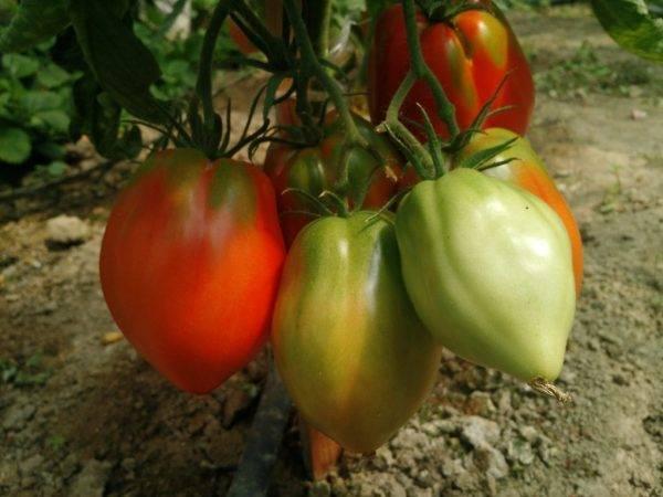 Новинка от селекционеров, успевшая полюбиться огородникам — томат «шоколадное чудо»: отзывы и фото урожая