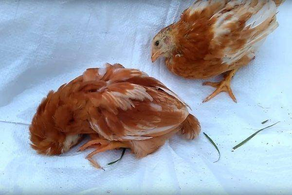 Как избежать убытков в птицеводстве? инфекционные заболевания кур, их симптомы и подходящее лечение