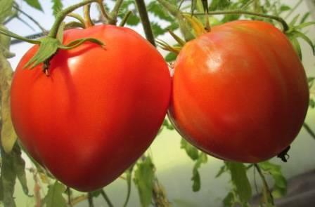Лучшие томаты для ростовской области