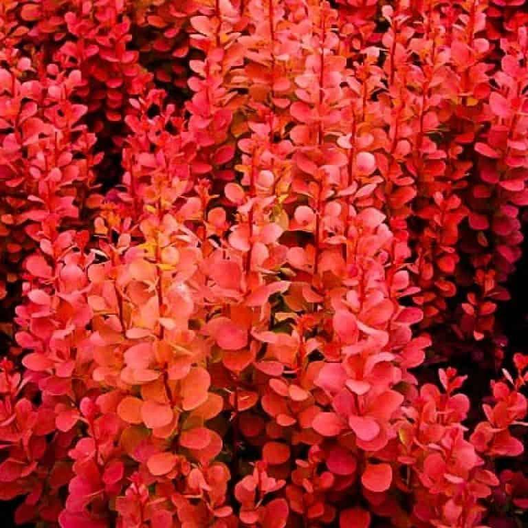 Агротехника выращивания сорта барбариса red rocket в открытом грунте: как ухаживать
