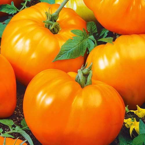 Уникальный томат для суровых условий: алтайский шедевр