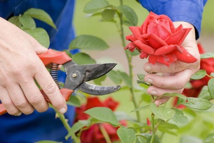 Пузыреплодник калинолистный посадка и уход в открытом грунте