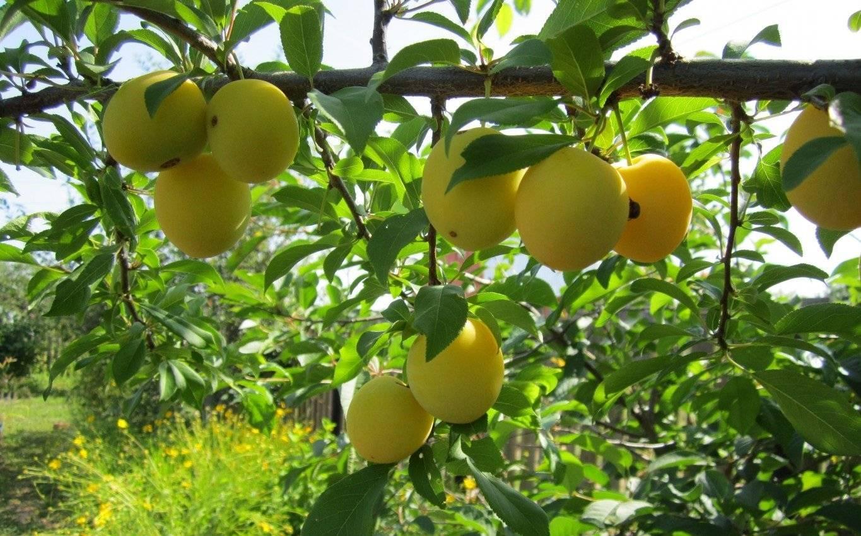 Алыча нигра — описание сорта, фото и отзывы садоводов