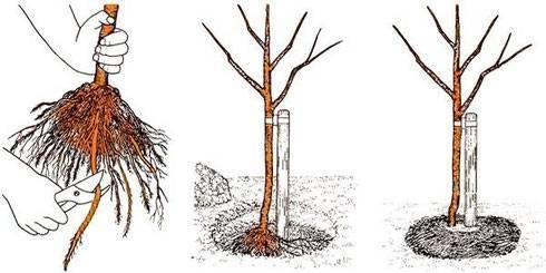 Как правильно посадить вишню весной?