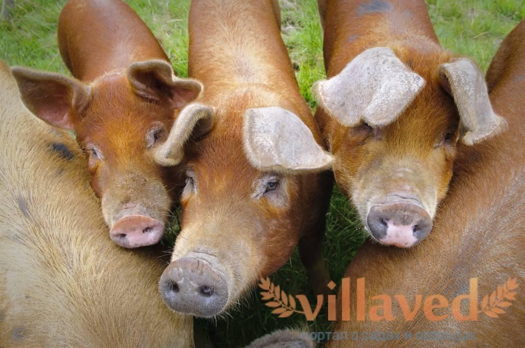 Мясная порода свиней петрена (пьетерн)
