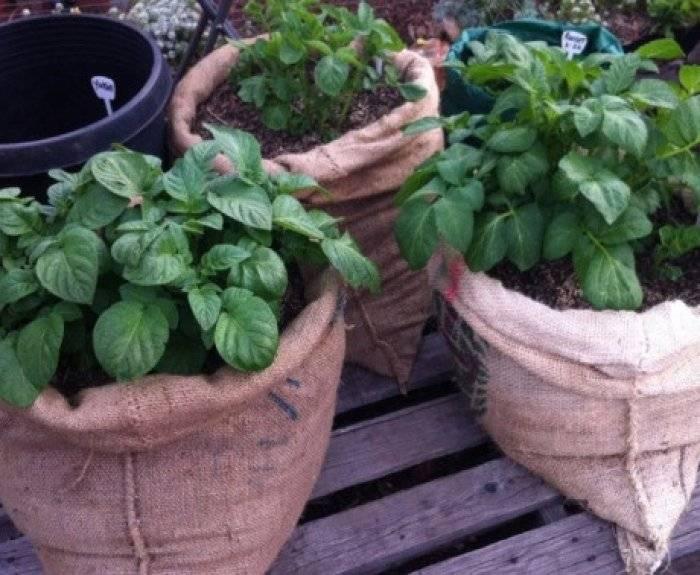 Правила выращивания картофеля в мешках: технология посадки и ухода