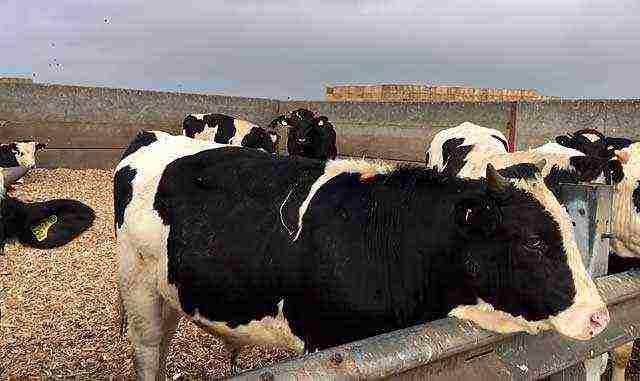Откорм крупного рогатого скота: чем и как кормить