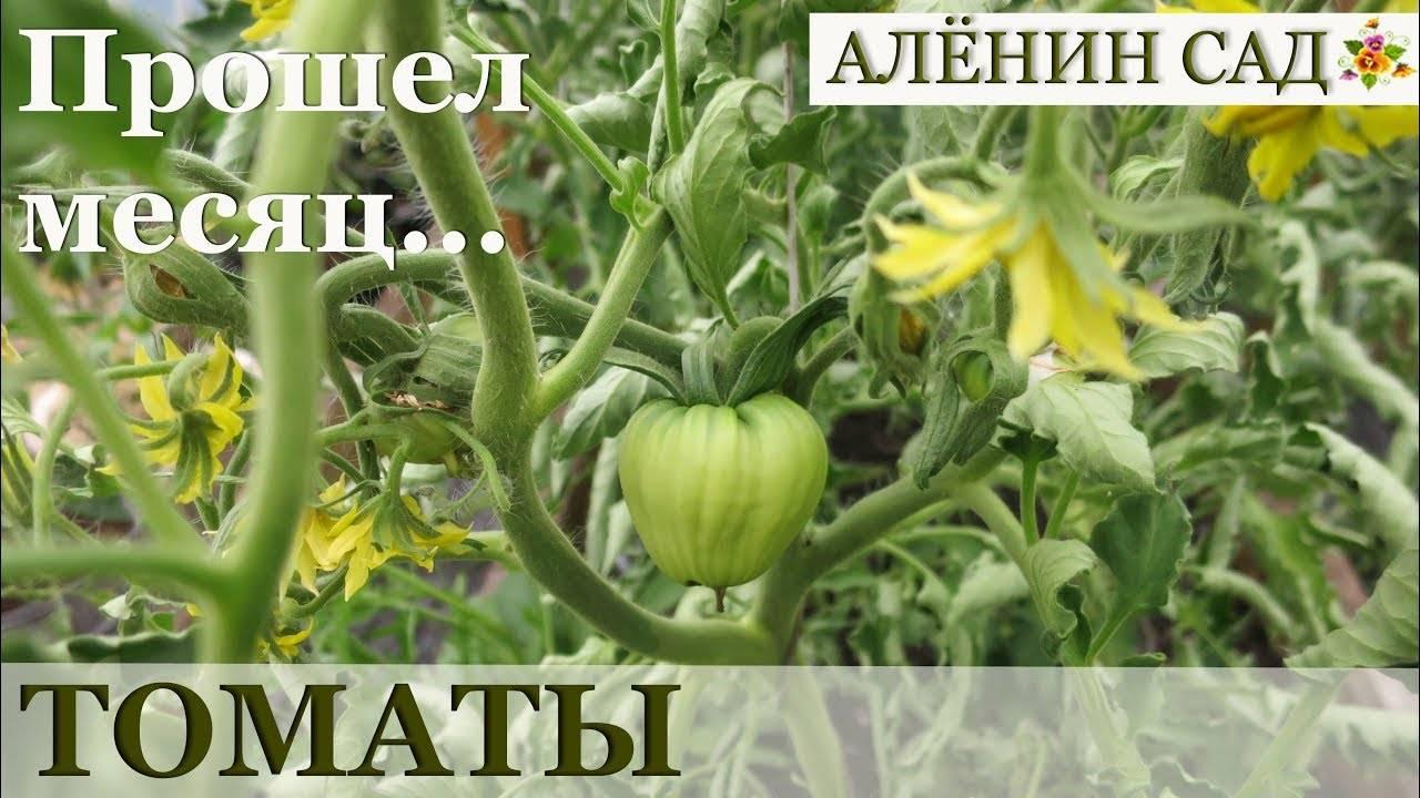 Томат Сержант Пеппер: отзывы, фото, урожайность