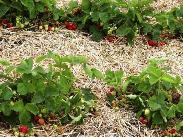 Сорт клубники элиане — особенности посадки и ухода