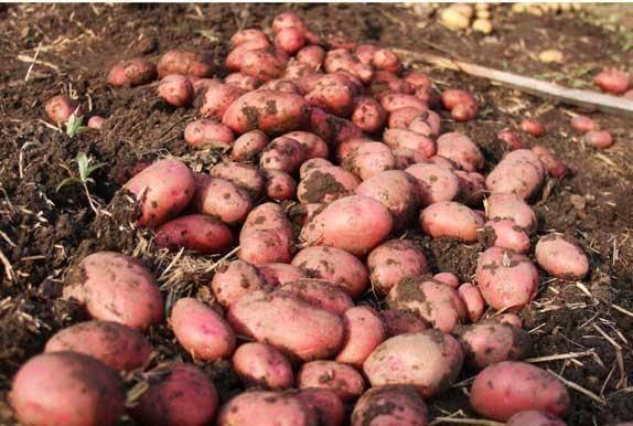 Капризный в уходе, но очень урожайный и вкусный немецкий сорт картофеля «мерлот»