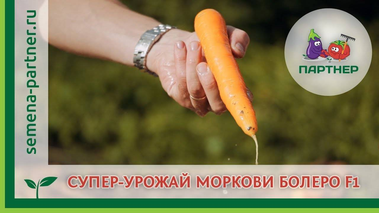Морковь болеро f1: описание, фото, отзывы