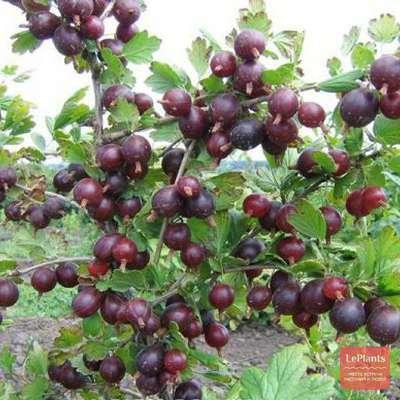Сорт крыжовника олави: описание и характеристика