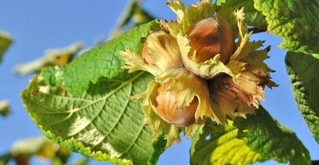 Орехи фундук — польза для мужчин и женщин