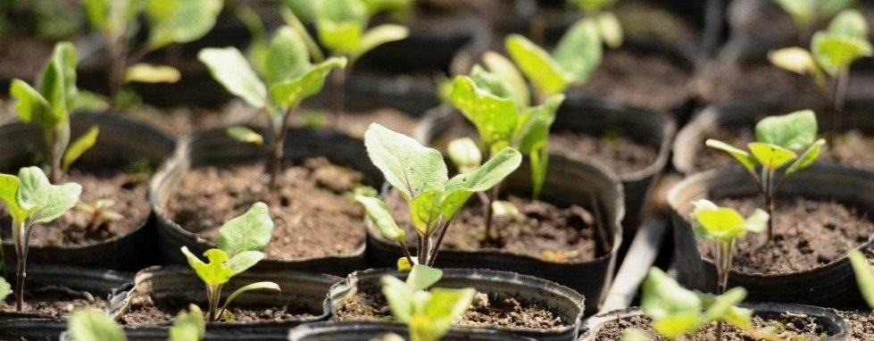 Как вырастить рассаду баклажанов в домашних условиях: пошаговая инструкция, видео